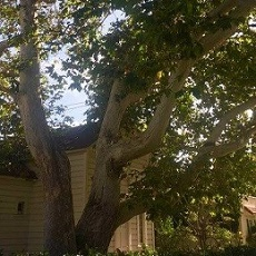 Landmarked Sycamore (Courtesy Save Our Sycamore)